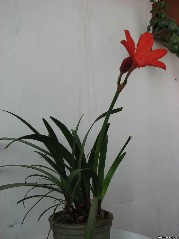 Цветы с большой луковицей фото